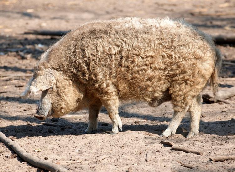 mangalica-pig