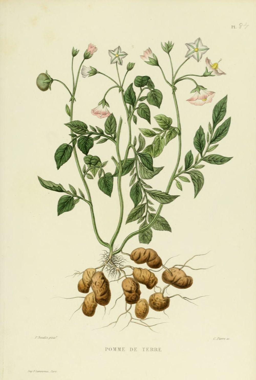gravures_plantes_-_0181_pomme_de_terre.jpg