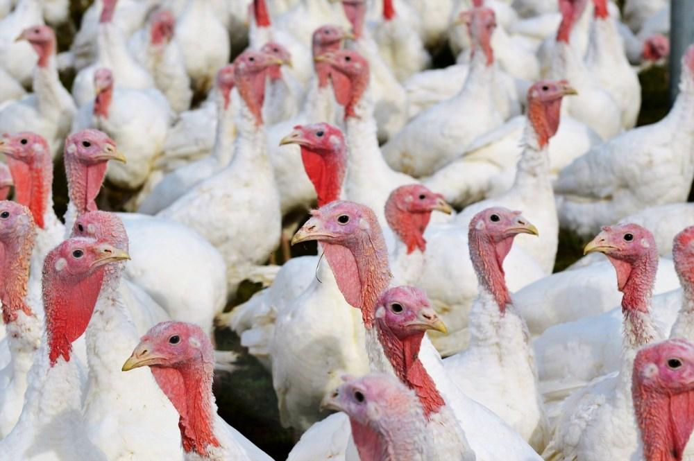 turkeys-2799462_1280.jpg