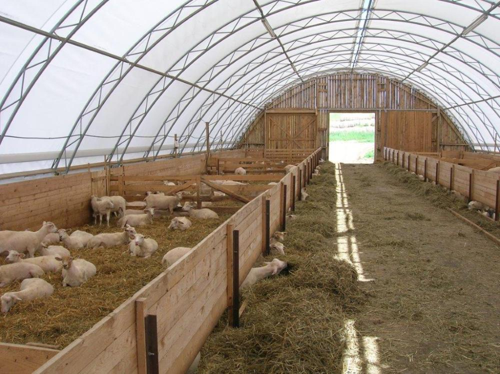 Salt Meadow Lamb in barn.jpg