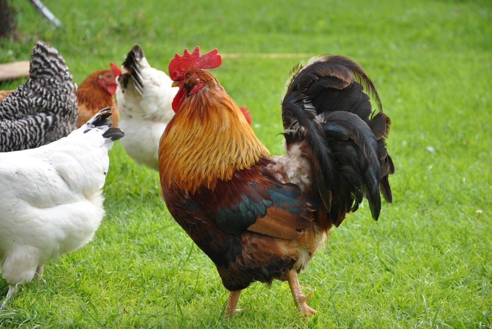 rooster-811723_1920