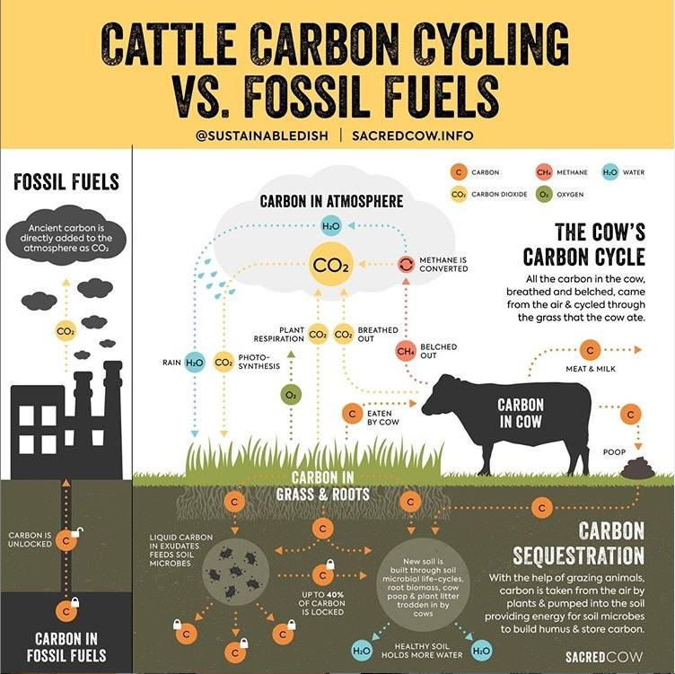 Car vs Cow Carbon.jpg