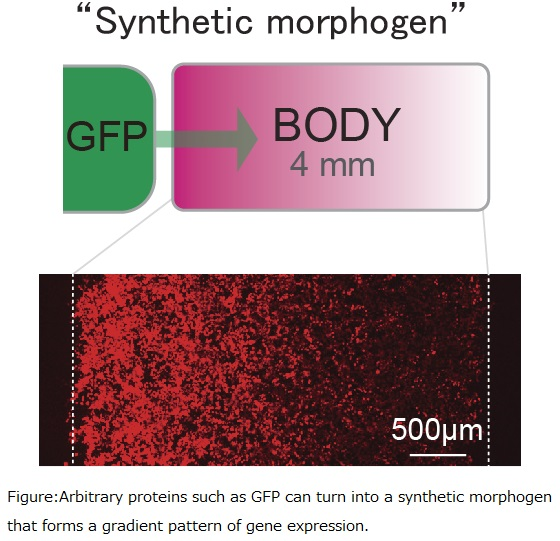Engineering biological pattern formation with synthetic morphogens (Wendell Lim, Satoshi Toda)