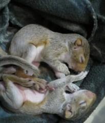 WL Squirrel