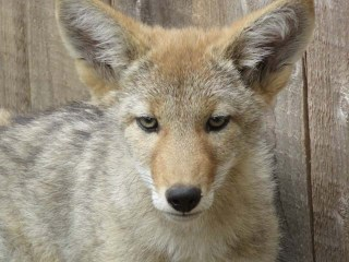WL coyote pup