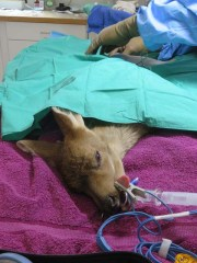 WL deer in surgery