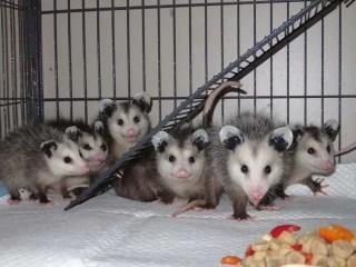 WL oppossums