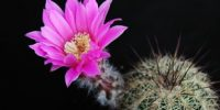 pink-cactus-flower