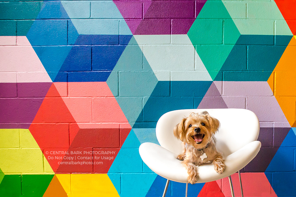 Yorkie sitting on white chair in front of brightly colored wall mural