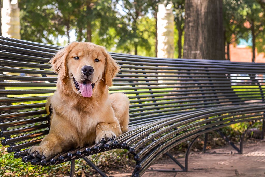 Golden retriever puppy on Dallas park bench smiles for dog photographer