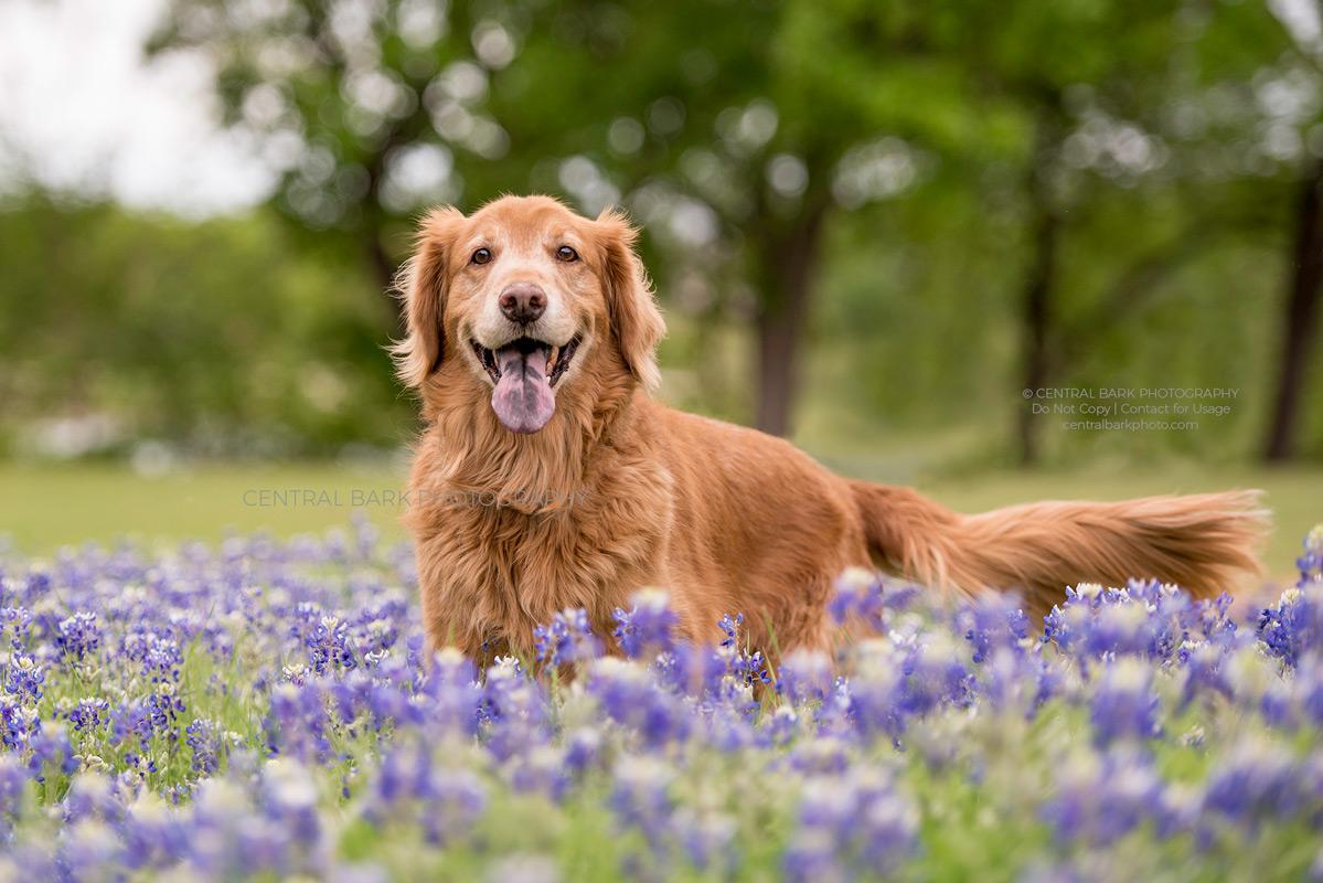 golden retriever dog standing in field of Texas bluebonnets