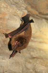 Hibernating Big Brown Bat. Photo: U.S. Fish and Wildlife Service Headquarters