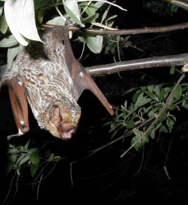 Hoary bat in tree. Photo: By Photographer: Paul Cryan, U.S. Geological Survey