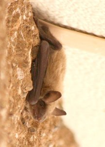 Yuma Myotis. Photo: James N Stuart, used graciously with artist's permission.
