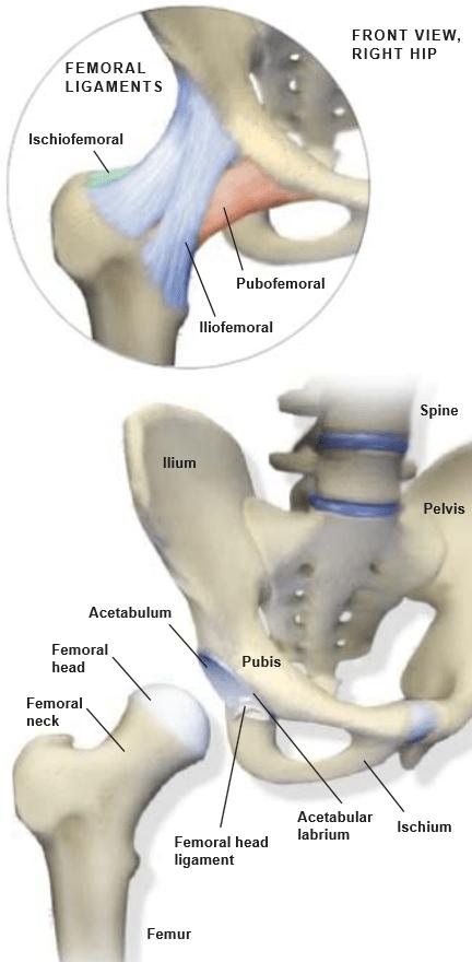 Hip-Anatomy