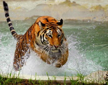Oakland Zoo's Tiger Pool Waterproofed With Kryton T1