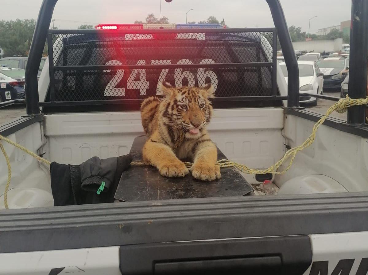 Un tigre fue asegurado por policías en Cuautitlán Izcalli