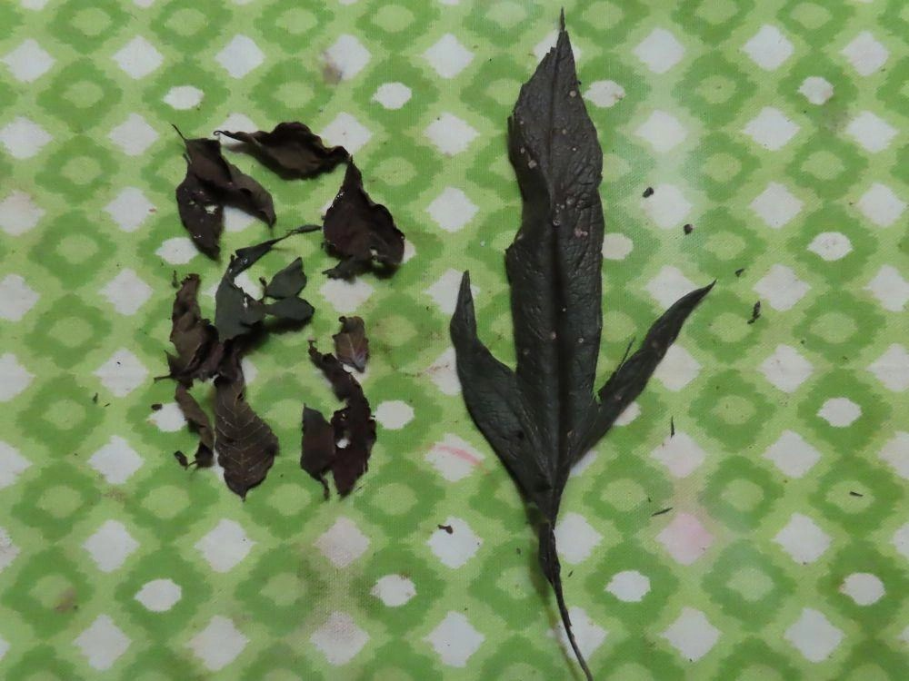 Dried Polly Red Head and Jackass Bitters leaves