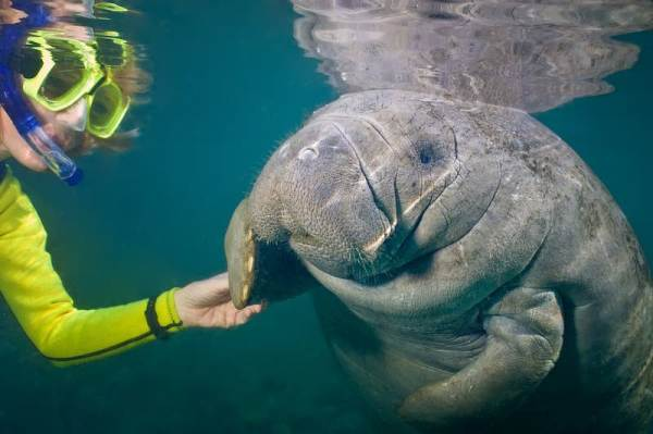 Diver and manatee encounter underwater