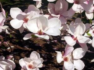 Magnolias at Conservatory Garden