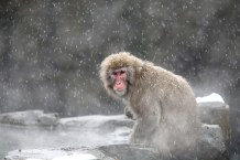 FreeGreatPicture.com-40206-snow-monkeys-at-the-central-park-zoo-in-nyc