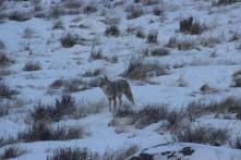 Fluffy coyote in YNP