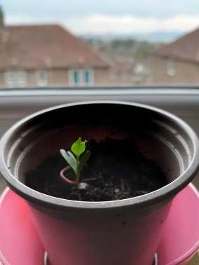 Jenni Kelly - Apple Seed Plant 2