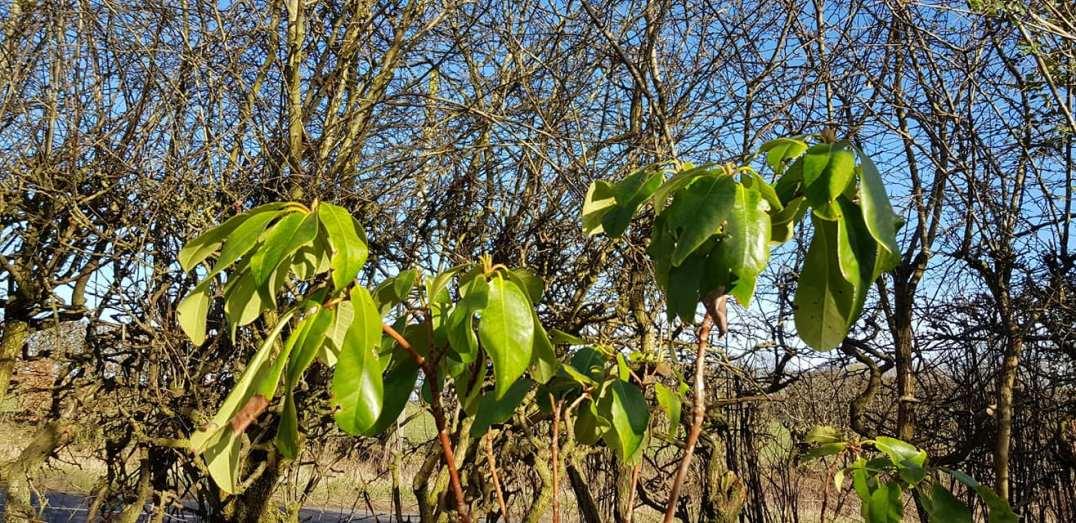 Phurpha Tsumu Lama Dhangsong - Outdoor Plant 2