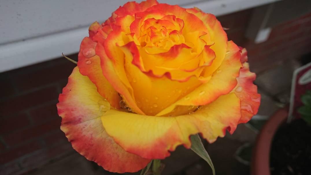 Hajra Khan - Rose