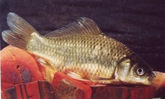 Carassius auratus (David Morgan)