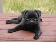 Image result for all black french bulldog