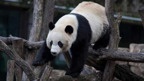 Bidding Farewell to Bei Bei