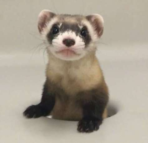 Black-footed Ferret Clone