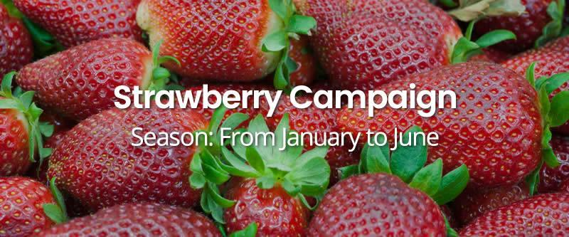 strawberry-campaign HOME