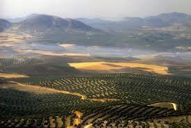Mar de olivos-Jaen