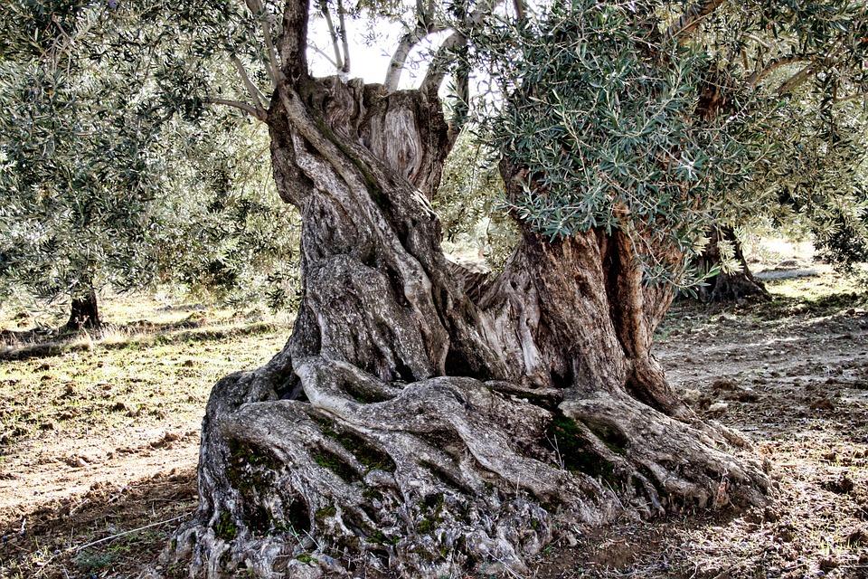 Usos no alimentarios del aceite de oliva en la antigüedad