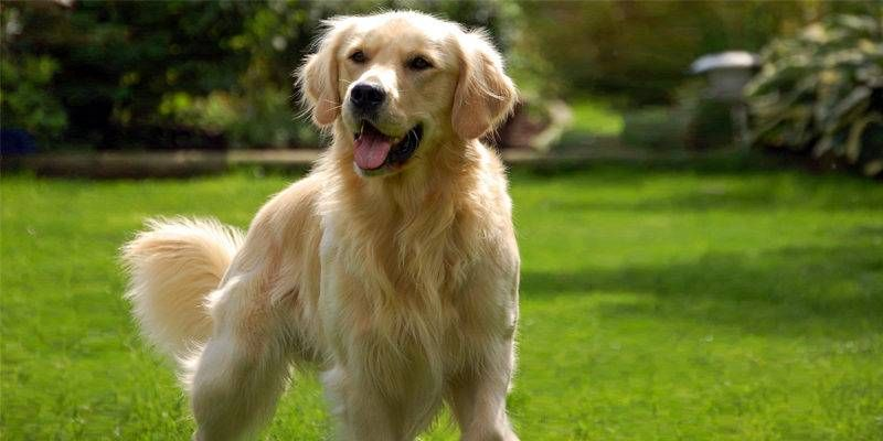 Golden-Retriever1-800x400-800x400