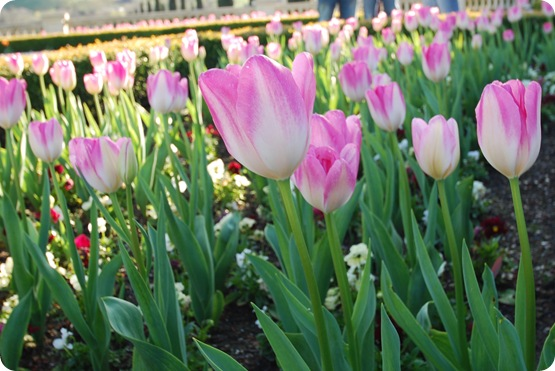 pink tulips at ferrari carano