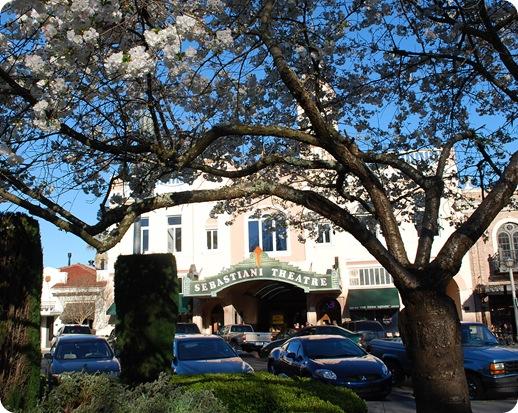 cherry blossoms and sebastiani