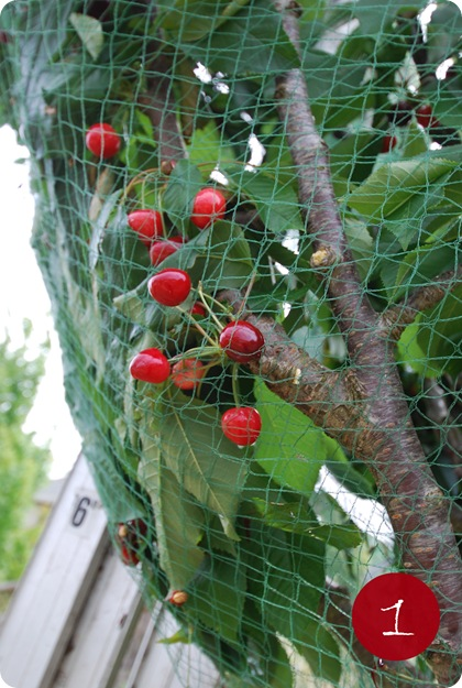 cherries in net 1