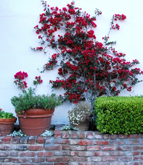 brick wall and bouganvillia