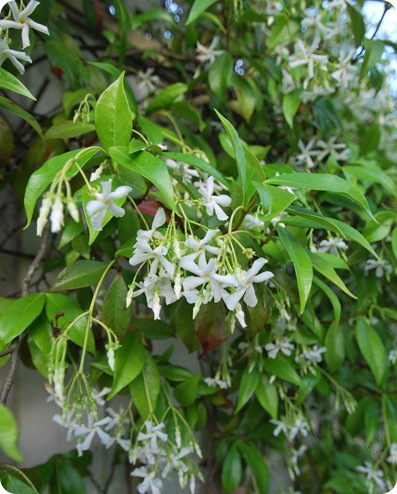 climbing jasmine