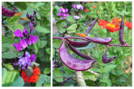 purple hyacinth bean 2