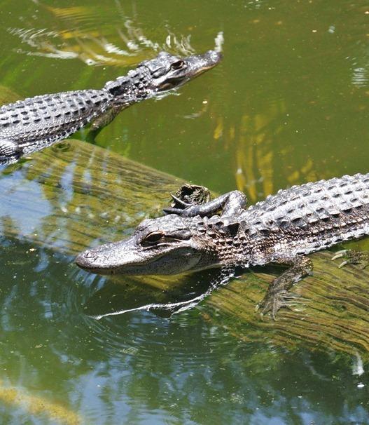 alligators at crab shack