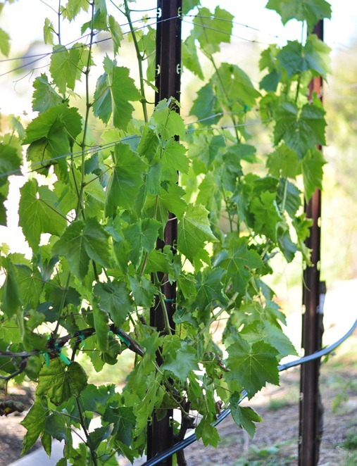 grapevine leaves