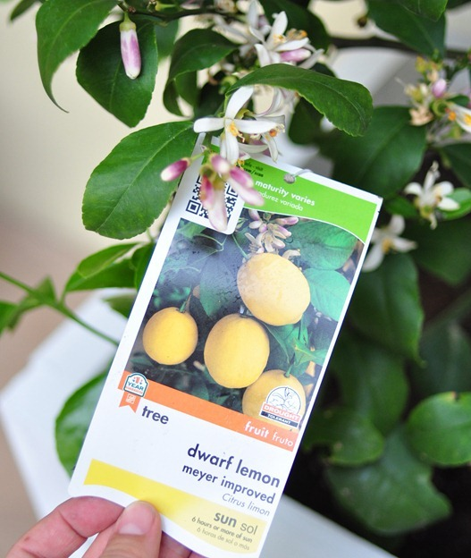 planted dwarf meyer lemon