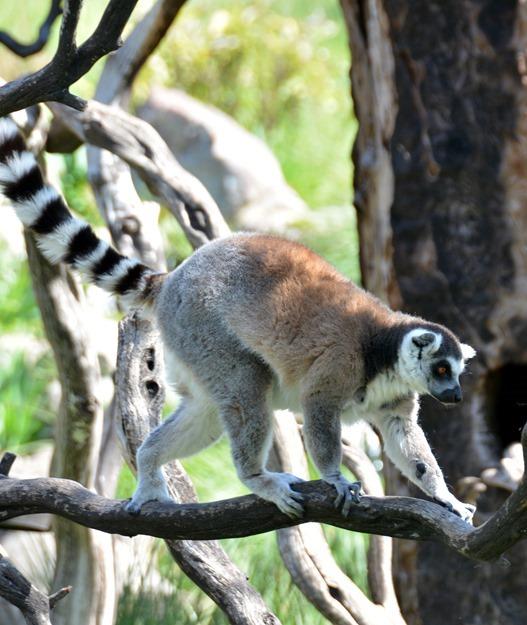 lemur on branch