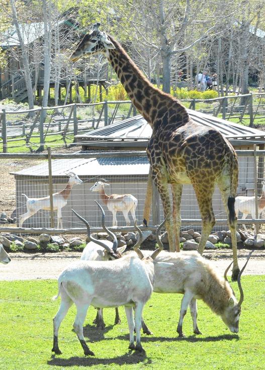 safari west giraffe addax