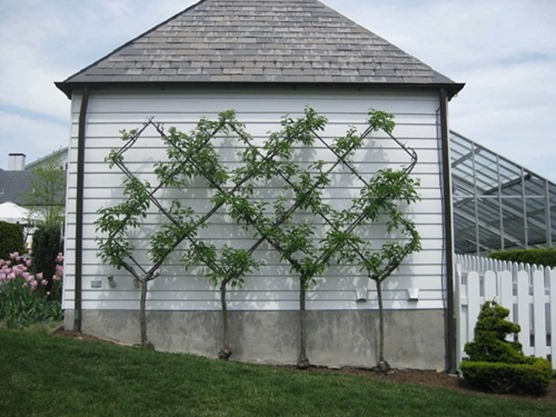 espalier apple trees