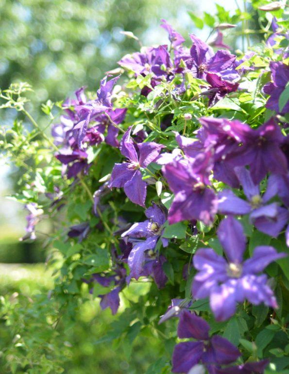 purple flowering vine